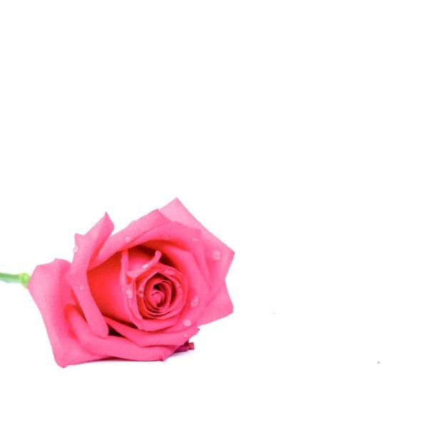 Large Plain Cards - Pink Rose 1