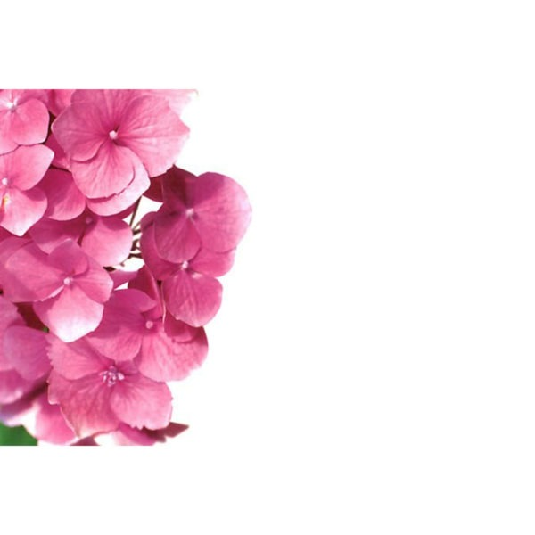 Small Plain Cards - Pink Hydrangea 1