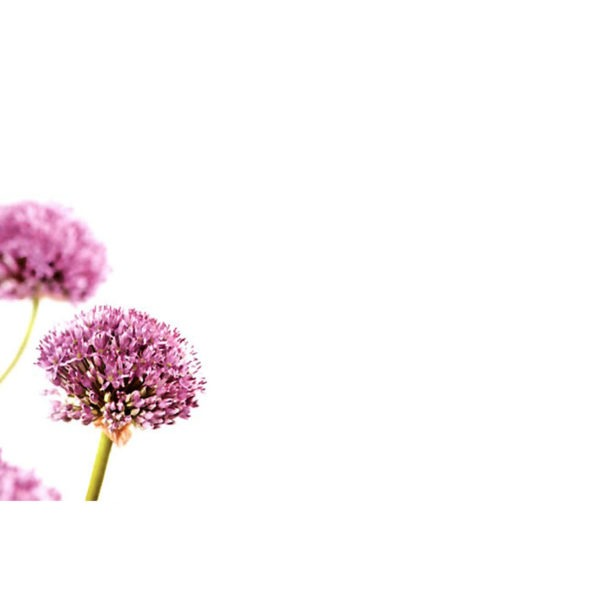 Small Plain Cards - Purple Allium 1