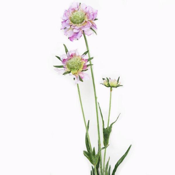 Lilac Scabious 1
