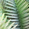 Fern Palm Leaf 2